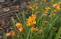 Montbretia (Crocosmia x crocosmiiflora 'Zeal Tan') in a Country Cottage Garden in Rural Devon, England, UK