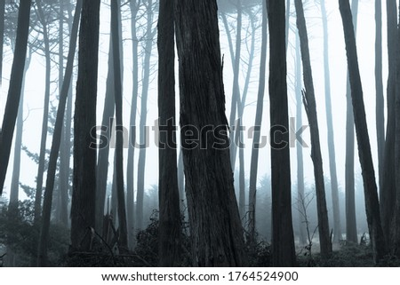 Monterey Cypress forest in thick fog. The Presidio of San Francisco, California, USA. stock photo