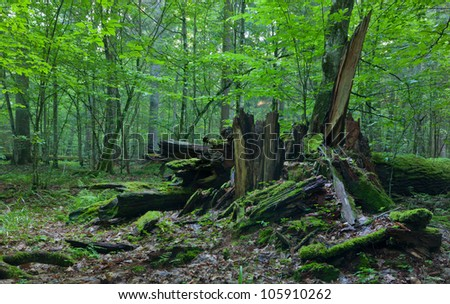 Monumental broken oak lying under canopy of deciduous stand of Bialowieza Forest