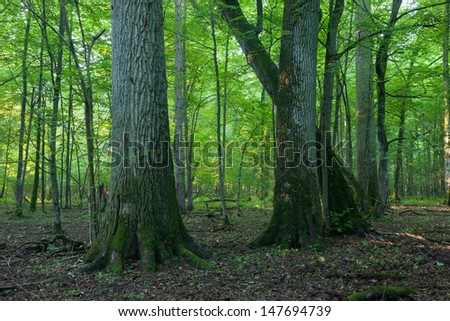 Monumental oak trees of Bialowieza Forest deciduous stand in misty morning