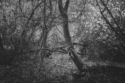 Moody dense forest thicket in black and white. Scary gloomy forest scenery