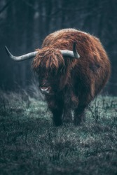 Moody highland cattle in the image. dark and moody image of highland cattle.