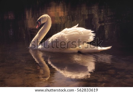 moody image of a beautiful swan ...