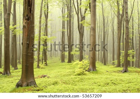 Moody spring forest with beech trees and the mountain mist in the background.