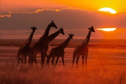 moody sunset in african savanna with a giraffe herd, concept for safari tourism and travel africa
