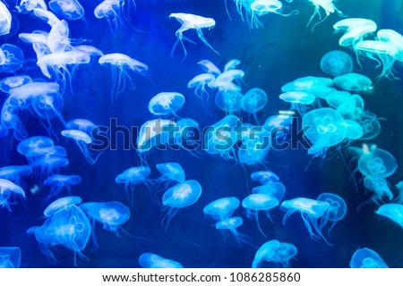 Moon jellyfish Aurelia aurita red translucent color and dark background. Aurelia aurita (also called the common jellyfish, moon jellyfish, moon jelly, or saucer jelly) #1086285860