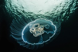 Moon jellyfish, Aurelia aurita, transparent underwater creature in sea. Actual under water Photo. 40 meters depth. Japan sea, Far East