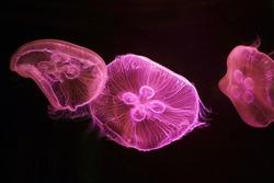 Moon Jellyfish in pink light in a large aquarium fish tank, Many large jellyfish. Luminous jellyfish background.