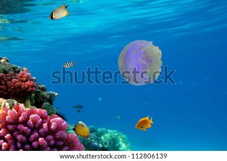 moon jellyfish. Red Sea, Egypt.