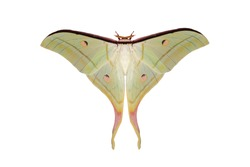 Moon Moth or Actias maenas isolated on white background, Beautiful night butterfly