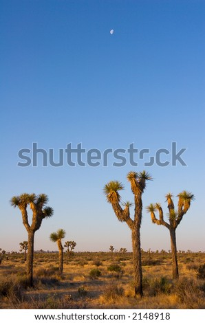 Moon over the Joshua Trees of Joshua Tree National Park, in the Mojave Desert of Southern California.