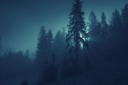 Moonlight through the spruce trees of magic mysterious foggy night forest. Halloween backdrop.