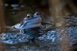 Moor frogs in blue color at mating season in germany