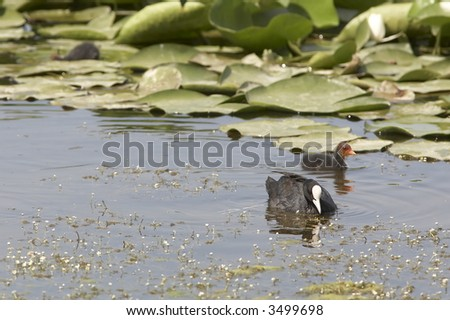 moor hen chicks (Fulica atra) on the water
