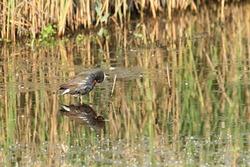 moorhen marsh reeds