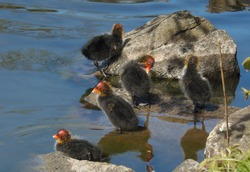 Moorhen with its chicks a few days after hatching