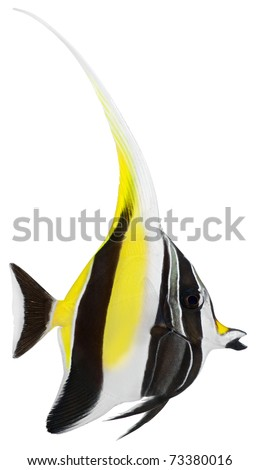 Moorish Idol fish isolated on white background. Zanclus cornutus