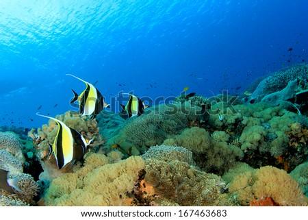 Stock Photo Moorish Idol fish on coral reef underwater