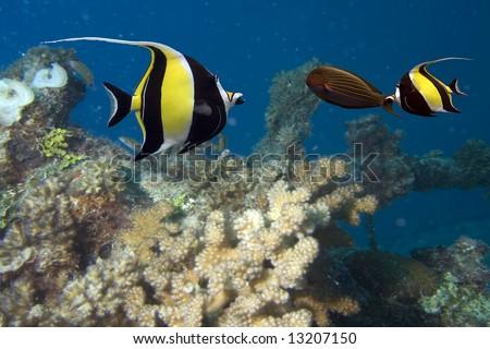 Moorish Idol (Zanclus cornutus) and Zebra Surgeonfish (Acanthurus lineatus) swimming over reef, blue background. The type of fish known as Gill in Finding Nemo.