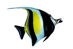 Moorish Idol (Zanclus cornutus) on white background. Spratly Islands, South China Sea.