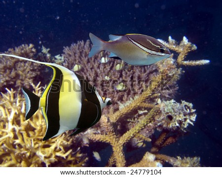 Moorish idol zanclus cornutus the type of fish known as for Do all fish have gills