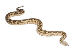 Moorish viper  - Macrovipera mauritanica, poisonous, white background