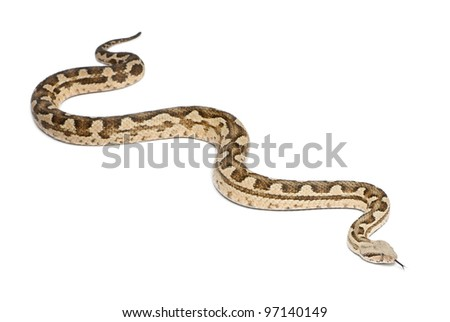 Moorish viper  - Macrovipera mauritanica, poisonous, white background - stock photo