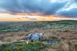 Moorland ponies grazing on Caradon Hill near the Minions on Bodmin Moor in Cornwall