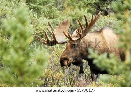 moose - stock photo