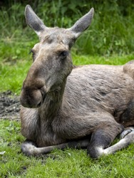Moose, Alces alces, is the largest inhabitant of European forests, pictured in the female