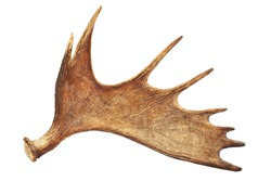 Moose antler isolated on white