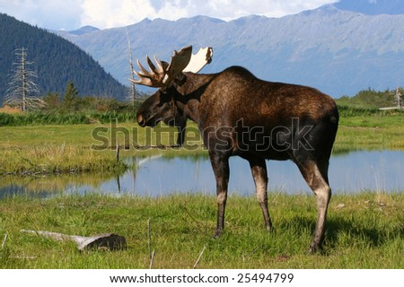 Moose before pond and mountains