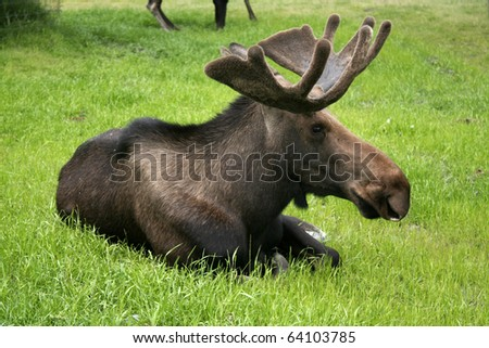 Moose Bull, A male moose still with the velvet covering his antlers, sitting on the grass. Taken at Kenai Peninsula, Akaska, USA.