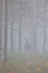 Moose Bull in the mist