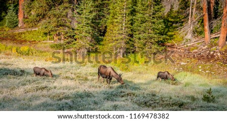 Moose cow with twin calves
