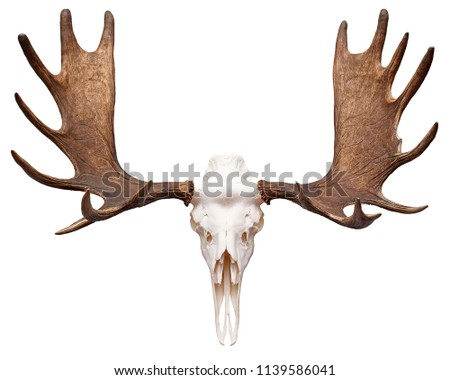 Moose (Elk) Skull with Antlers isolated on white.