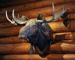 Moose head. The stuffed hunting trophy (taxidermy) head and antlers of a Moose - mounted on the wall of a log cabin in the Canadian Rockies