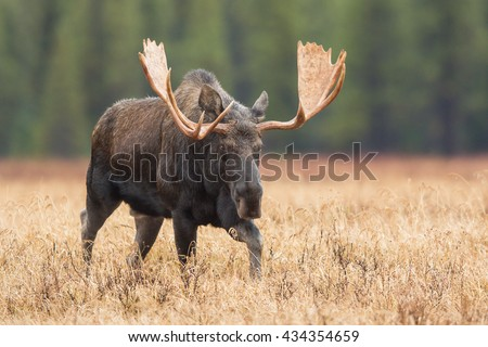 Moose in a meadow in Banff National Park