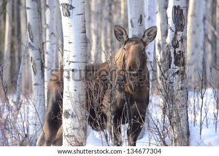 Moose In Birch Trees Stock Photo 134677304 Shutterstock