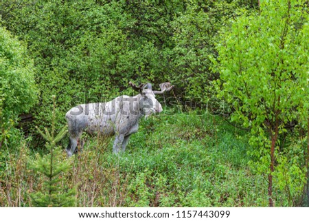 Moose in the forest, Newfoundland. St. John's, Newfoundland and Labrador, Canada.