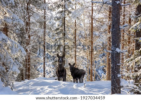 Moose in the swedish forest. Foto d'archivio ©