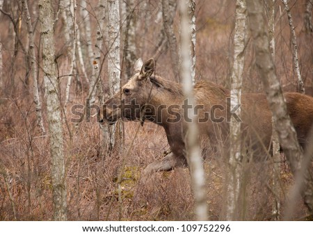 moose on the Biebrza marches, Podlasie, Poland