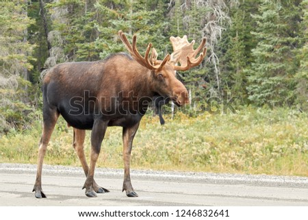 Moose on the street in the Canadian Rocky Mountains, Kananaskis Country
