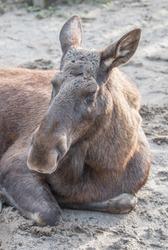 Moose or Elk (in german Elch or Elchkuh) Alces alces