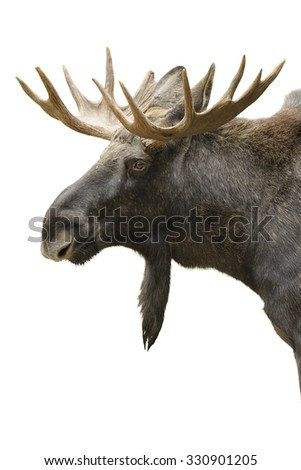 Moose portrait isolated on white