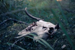 Moose skull on the moss. Moose (Alces alces) skull with small horns in the forest.