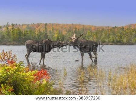 Moose Smooch - A cow and bull moose touch noses in a show of affection during the fall mating season. Baxter State Park, Maine.