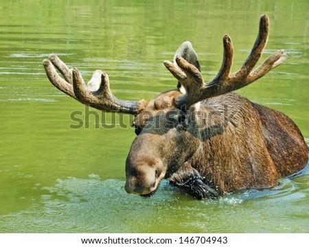 Moose swimming in lake