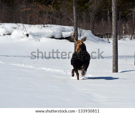 Moose trying to run in  snow