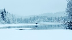 Moose walking on the lake coast in the foggy winter day. The picture taken at the lake Selbu, Norway